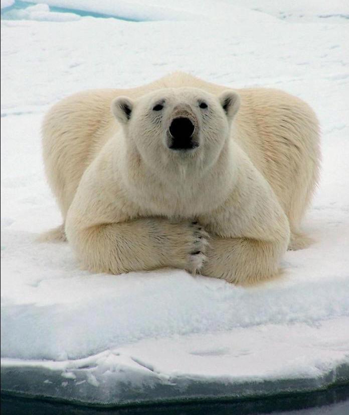 Ours polaire : Ursus Maritimus dans 10. Insolite Nature ours-polaire